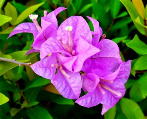 Pupuk Untuk Bunga Hias manfaat tanaman hias bunga bougenville untuk kesehatan