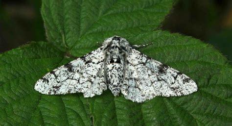Peppered Moth peppered moth pictures to pin on pinsdaddy