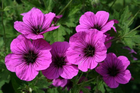 Geranium by File 0 Geranium Psilostemon Bressingham Fair Yvoire