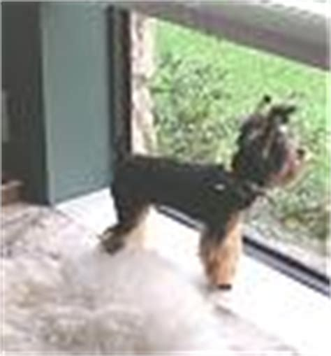 types of yorkie cuts types of yorkie haircuts yorkietalk forums terrier community