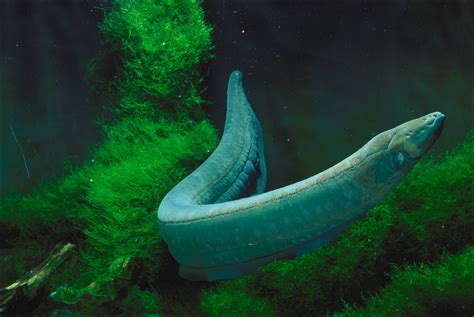 electric eel 30 fascinating fish facts national aquarium waterblog