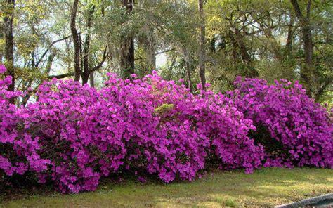 azalea bush colors what s your favourite color bush