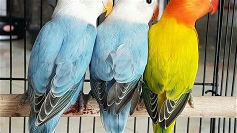Burung Lovebird Hs gambar dunia burung perbedaaan lovebird biola opaline