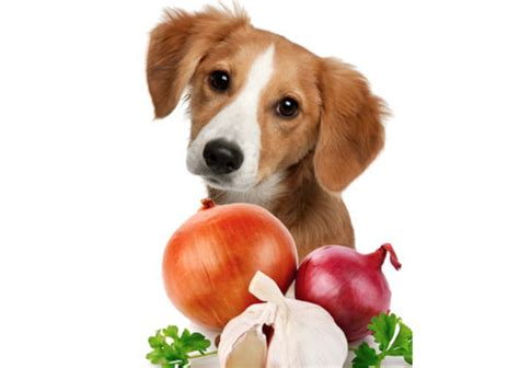dogs onions poisoning in dogs the best of 2017