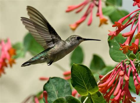 cold spring means hummingbirds need feeders now in buffalo