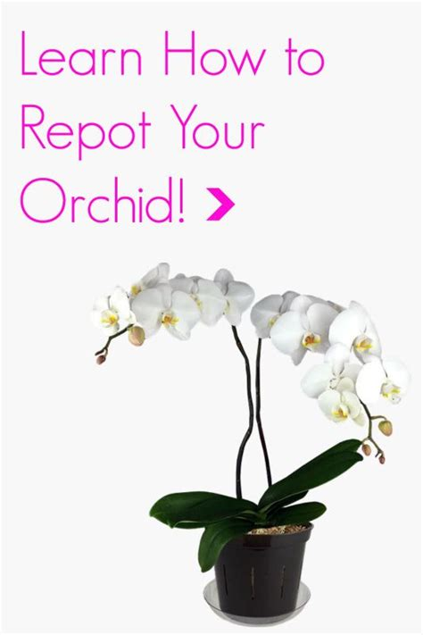 phalaenopsis repotting clinic with pictures and step by step directions orchid care tips