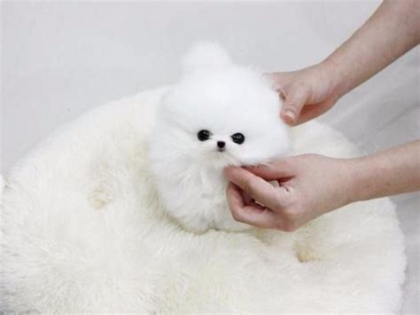 free pomeranian puppies in arkansas 17 best ideas about pomeranian puppies for free on teacup pomeranian puppy