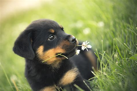 images of rottweilers 26 photos prove rottweilers are most awesome breed