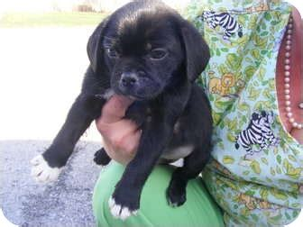 pug rescue new hshire puggles adopted puppy rochester nh boston terrier pug mix