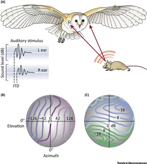 barn owl ebook diagram barn owl gallery how to guide and refrence