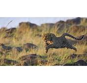 Animals Leopard Wallpapers HD / Desktop And Mobile