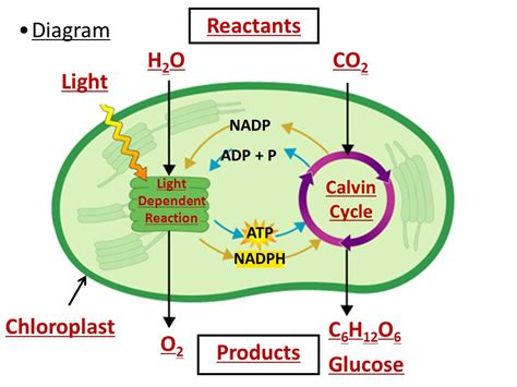 What Are The Products Of Light Dependent Reactions photosynthesis unweaving the rainbow
