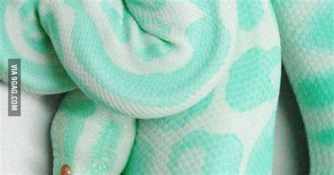 Buetifull most beautiful snake gagbay the most beautiful snake i