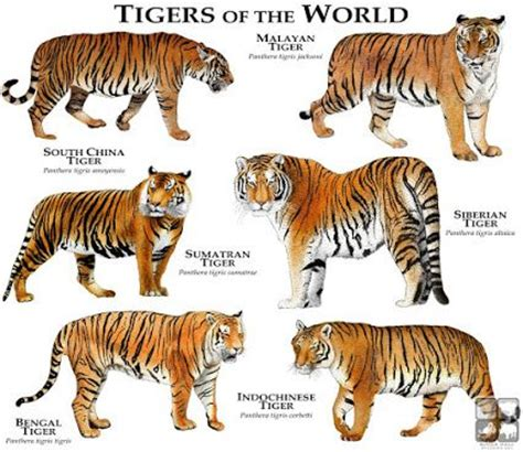 what are the different types of tigers living there are six subspecies of tiger panthera tigris and they all look slightly different http