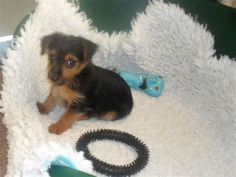 when is a yorkie no longer a puppy terrier puppy warrington cheshire pets4homes