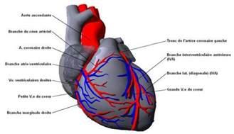 coeur anatomie illustr 233 e