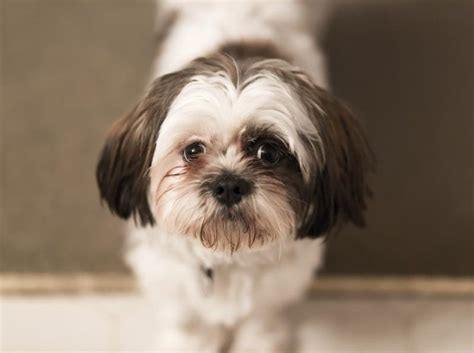 what two dogs make a shih tzu how to take care of a shih tzu yorkie mix puppy cuteness