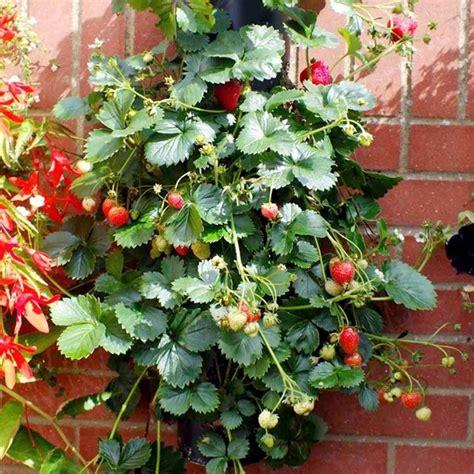 pianta di fragola in vaso fragole ricanti il frutteto coltivare fragole