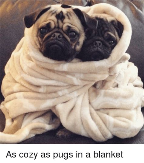 pug in a blanket 25 best memes about pug in a blanket pug in a blanket memes