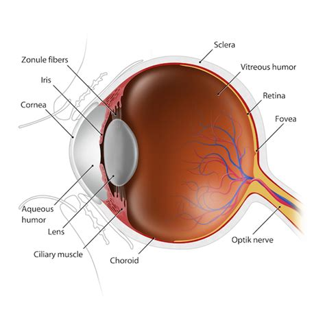 eye lens eye lens anatomy www imgkid the image kid has it