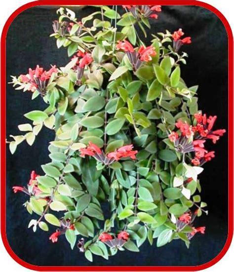 ricanti in vaso piante con fiori piante dappartamento con fiori