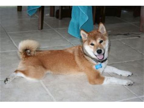 shiba inu puppies for sale in michigan shiba inu puppies for sale