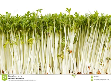 delicious garden cress stock image image 36181301