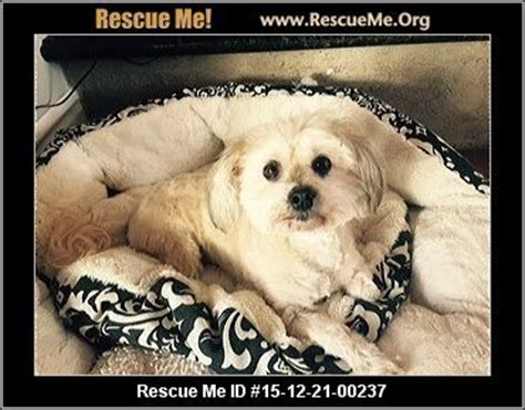 havanese rescue near me 1000 images about dogs need to be adopted havanese cotons maltese poodles