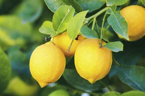 concimazione limone in vaso concimazione limoni concime come e quando concimare limoni