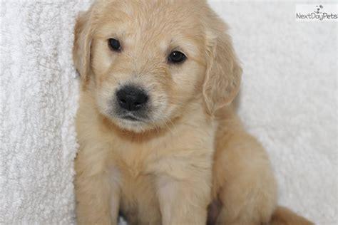 golden retriever breeders in arkansas matthew golden retriever puppy for sale near jonesboro