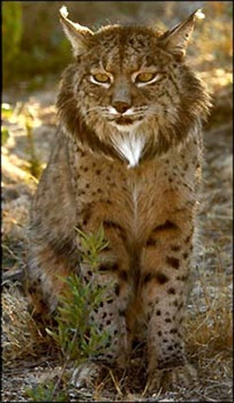 lynx house cat bbc news europe how the eu saves and kills the lynx