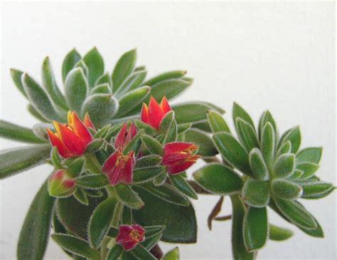 Aloe Humilis Entretien by Kakteen Sukkulenten