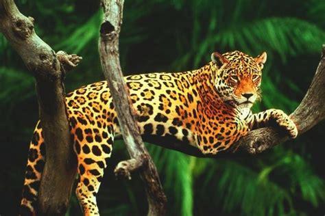 imagenes de garra jaguar afirman que aument 243 25 por ciento n 250 mero de jaguares en m 233 xico