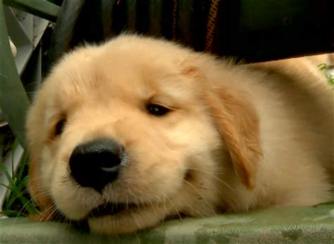 golden retriever puppy not of the day happy golden retriever puppies the world of nardio