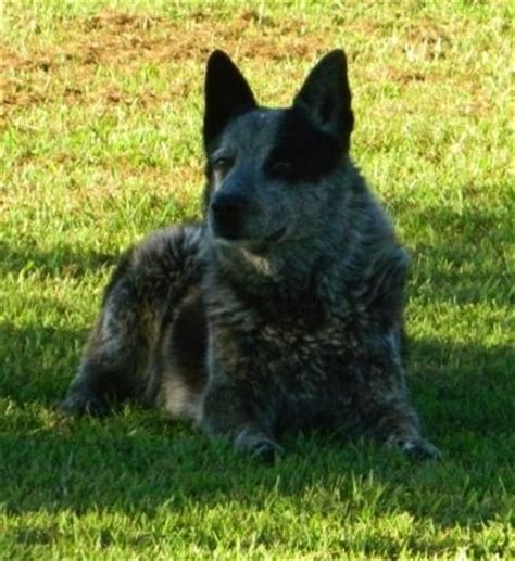 australian shepherd blue heeler mix puppies for sale heeler a cross between an australian shepherd and blue heeler images frompo