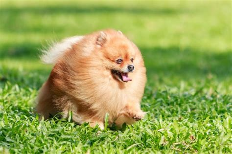 small pomeranian pomeranians why this small breed is a great pet pet care facts