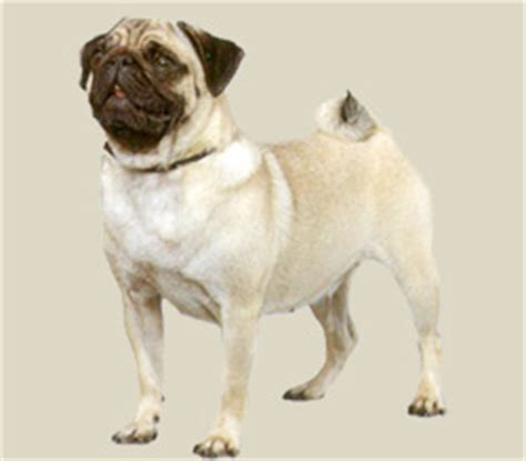average pug lifespan pug
