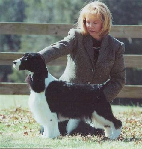 photo courtesy of gentry english springer spaniels ch tiffany s esspecial sharper image