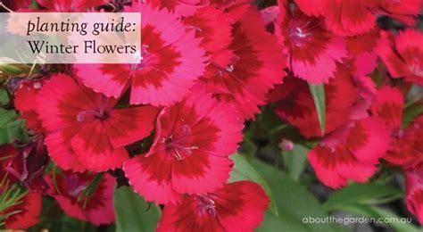 winter flowers planting guide australian temperate zones