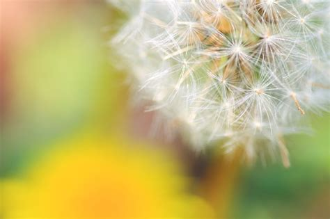 dandelion is steeped in symbolic meaning including