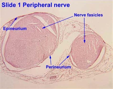 cross section of nerve nervous