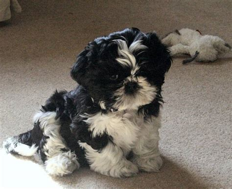 6 week shih tzu puppies document moved