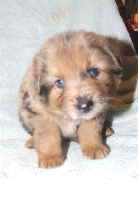 adoption buffalo buffalo pug small breed rescue inc percy s page