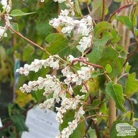 buy fallopia baldschuanica russian vine polygonum