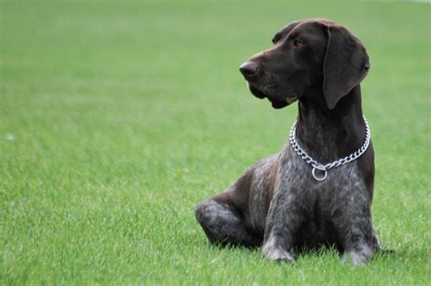 shorthaired pointer puppies german shorthaired pointer puppies breed information pictures