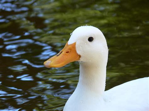 duck images white duck in pond free stock photo domain pictures
