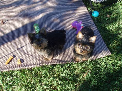 yorkies for sale in wv puppies for sale terrier yorkie terriers yorkies f