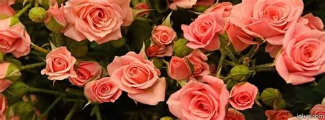 imagenes de rosas blancas para portada de facebook fotos de rosas para portada de facebook imagui