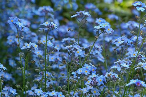 Blumen Pflanzen 3070 by Free Photo Forget Me Not Flowers Blue Free Image On