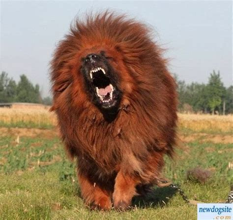 american pitbull terrier weight chart tibetan mastiff the scariest ing dog ever the